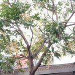 Masa Corona Surabaya, Hampir Usai